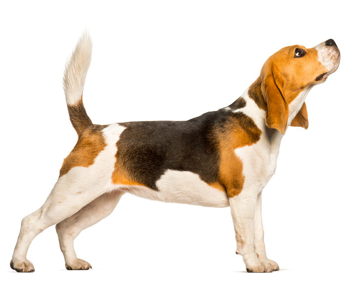Sidekick Digital - Beagle - White BG